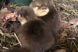 Drukte op de kraamafdeling van ZooParc Overloon: 20 baby's geboren