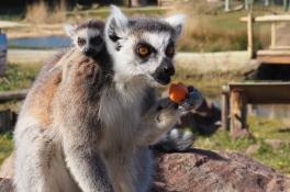 Geboortegolf in gesloten dierentuin: 11 jonkies geboren bij Zooparc Overloon