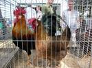 Kleindierenmanifestatie te Sint Anthonis.