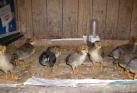 Foto Vereniging Pels en Pluim Kleindieren-manifestatie